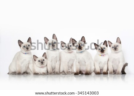Small thai kittens on white background