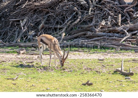 Small thomsons gazelle standing on the ground - stock photo