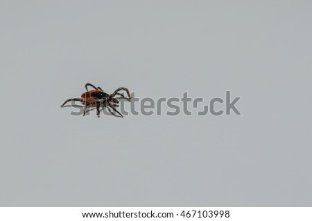 small tick crawling on white background