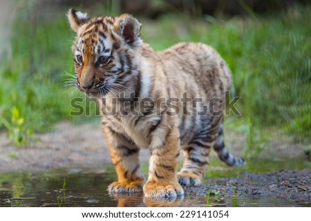 Small tiger cub stand in water - stock photo