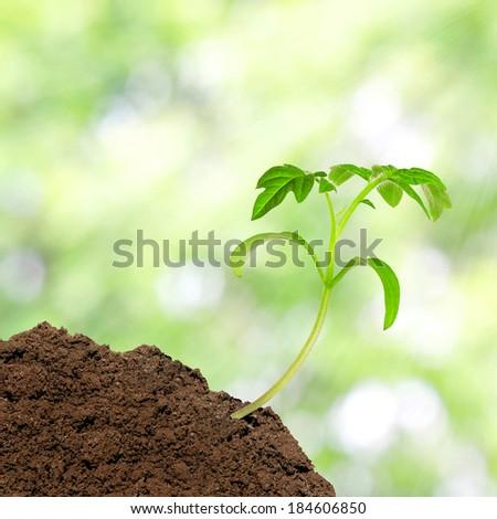 Small tomato seedling over sunlight background - stock photo