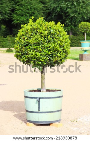 Small topiary tree in the pot decorates the park of Charlottenburg palace in Berlin - stock photo