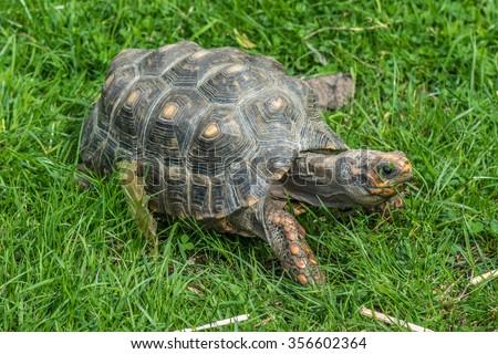 Small tortoise 2 - stock photo