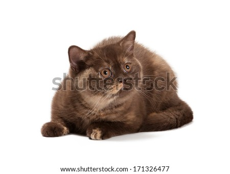 small tortoise british kitten on white background