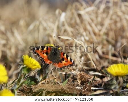 Small tortoiseshell, Aglais urticae - stock photo