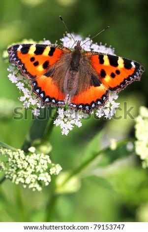 Small Tortoiseshell (Aglais urticae) butterfly - big macro photo - stock photo