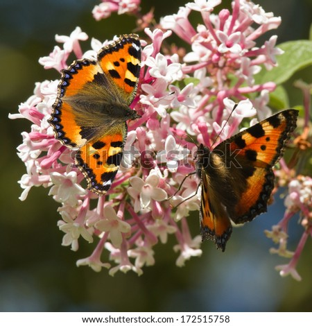 Small tortoiseshell butterflies feeding on Syringa flowers in summer - stock photo