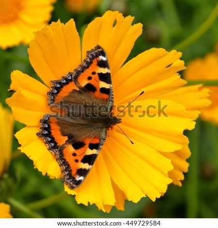 Small Tortoiseshell Butterfly (Aglais urticae) on a yellow flower.
