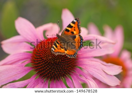 Small Tortoiseshell on a rudbeckia flower