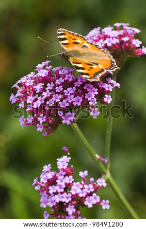 Small tortoiseshell or Aglais urticae on purple Verbena in summer - stock photo
