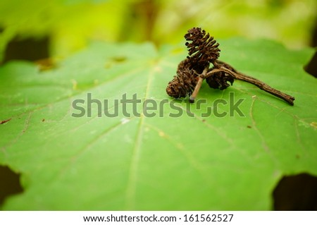 Small tree cones on a green leaf