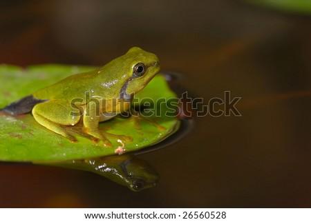 Small tree frog - stock photo