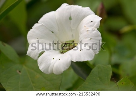 Small tree frog is in the calyx of a bindweed, Netherlands  - stock photo