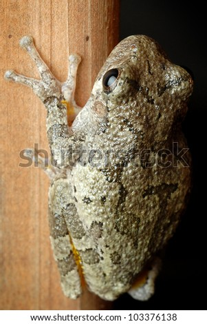Small tree frog on wood (Hyla versicolor) - stock photo