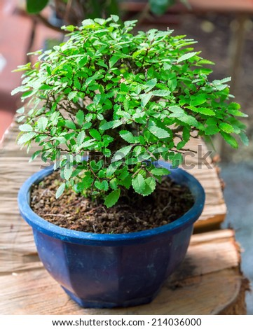 small tree in pot bonsai plants - stock photo