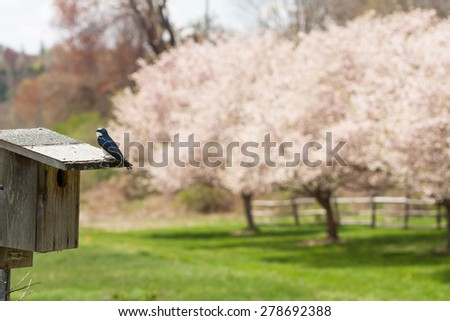 Small tree swallow perched on the top of a nest box and cherry trees blossoming in background. - stock photo