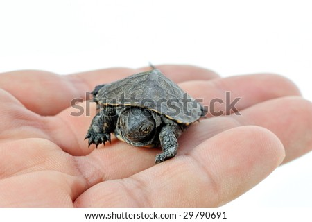 small turtle in human hand