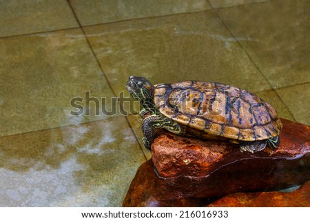 Small turtoise relaxing on a rock in a pool.