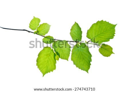 Small twig of hazel with spring leaves isolated on white   - stock photo