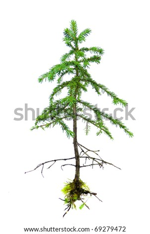 Small uprooted green Lutz spruce tree with roots and moss isolated on white