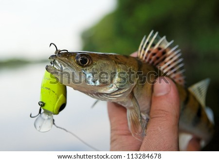 Small walleye in fisherman's hand, close-up - stock photo