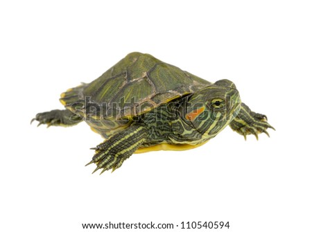 small water turtle isolated on white background - stock photo