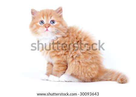 Small white and brown kitten with blkue eyes