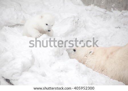 small white bear playing with mother - stock photo