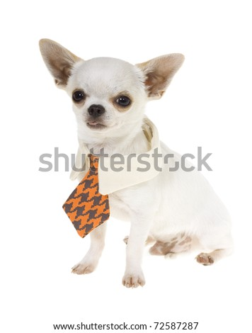 Small white Chihuahua Puppy Wearing a blue and orange check with tan NeckTie, isolated on white background.