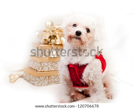 small white dog isolated on white with golden gifts for christmas