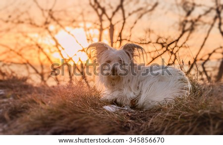 Small white dog resting on top of the hill at sunset - stock photo