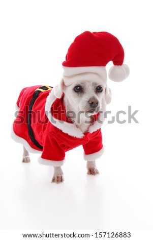 Small white dog wears a red and white santa claus costume and hat at Christmas. White background.