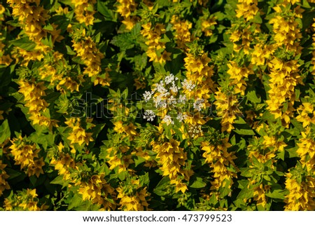 Small white flower on background of yellow flowers