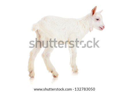 small white  goat on a white background , isolated