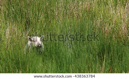 Small white lamb in a green meadow, Ireland. - stock photo