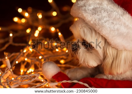 Small white Shih Tzu companion dog lying down wearing a red santa hat with white Christmas lights looking sleepy tired exhausted sad depressed alone lonely afraid worried - stock photo