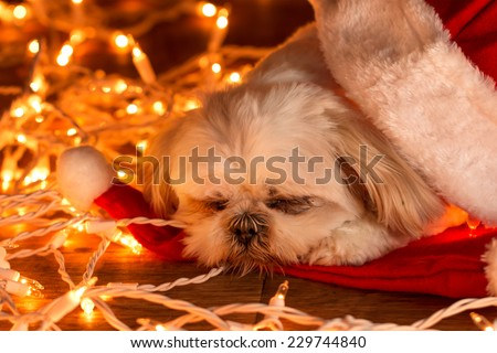 Small white Shih Tzu companion dog lying on red santa hat with white Christmas lights looking sleepy tired exhausted comfy warm worn out - stock photo