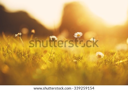 small white wild chamomiles on yellow sunshine background in summer field. Fresh sunny outdoor photo