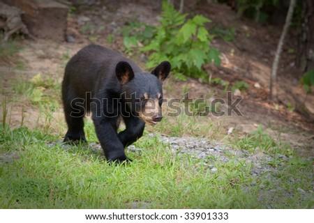 small wild bear cub walking on a path - stock photo