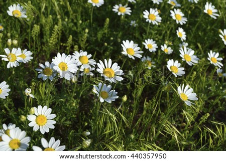 small wild White camomiles among green grass - stock photo