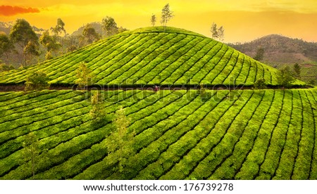 Small woman in huge tea plantation hills at sunset in Munnar hills, Kerala, India  - stock photo