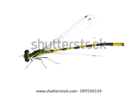 small yellow and black dragonfly isolated on white background