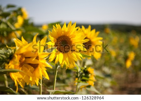 Small yellow blooming sunflowers with pollinating bee - stock photo