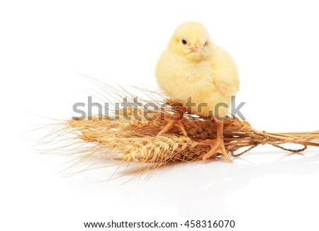 Small yellow chicken standing on bunch of wheat isolated on white background