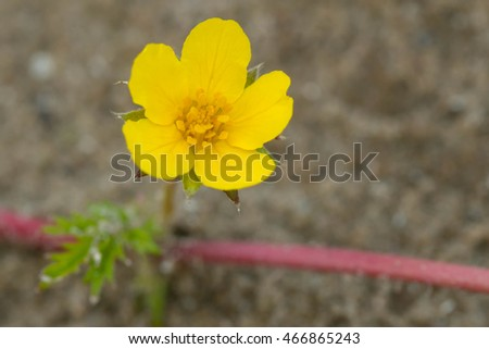 Small yellow Common Silverweed flower growing on the beach.