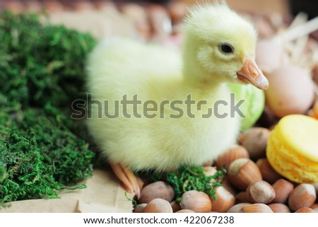 Small yellow duckling. Cute gosling. Small duck and macaroons. - stock photo