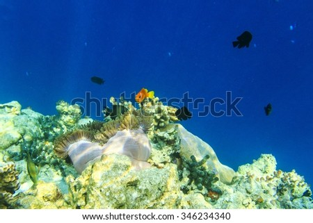 Small yellow fish in the Indian Ocean, Maldives - stock photo