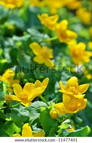 Small yellow flower on spring