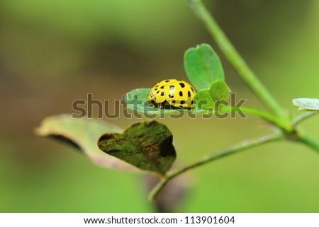 small yellow ladybug on a green leaf - stock photo