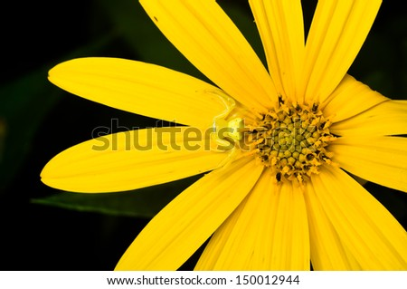 Small Yellow Spider on Mexican Sunflower Closed-up - stock photo